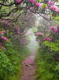 A path through Mountain Laurels