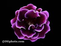 purple glox