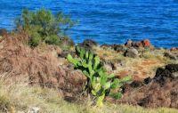 Sea Side Cactus