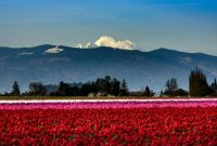 Tulip Time - Skagit Valley, WA