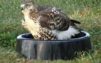 Hawk in Water Bowl 8-30-2015