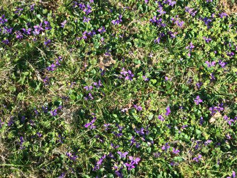 Wild Violets-4032x3024
