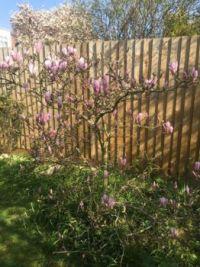Magnolia for mackabroin