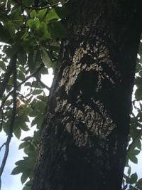 Tree for my hammock
