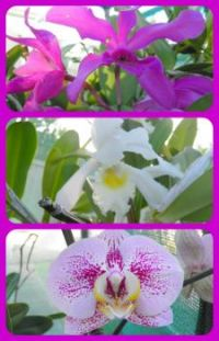 Steve's Orchids Collage. Larger.