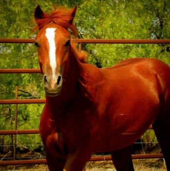 Scooby  Another of my Foster Horses Available through Bluebonnet Equine Rescue