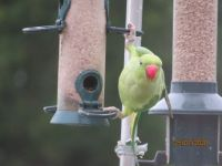 A new feeding position for the Parakeet