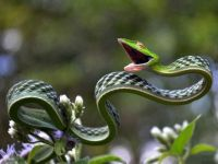 The stunning green vine snake