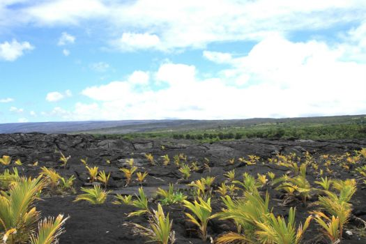 New Coconut Trees in Lava Flow