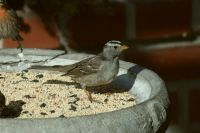 First White-crowned Sparrow of the season
