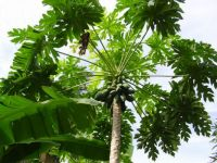 Papaya tree in Nigeria