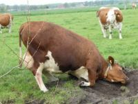 This cow had created an 'itch place' and made it bigger/deeper, day by day.