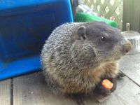 My Neighbor's Woodchuck Woodie that Lives in Her Hourse With Her and Her Kids (He is Bigger Now)