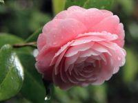 Camellia 4