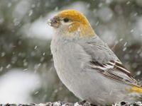 Pretty Pine in the Snow