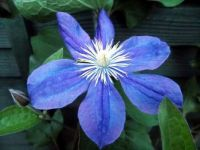 When she was young - a beautiful blue Clematis in June - Devon