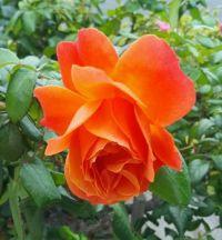 Single Rose Blossom