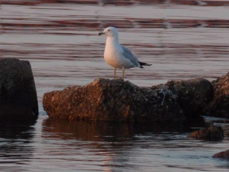 Seagull on Lake Superior, Summer 2012