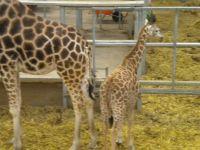 Blackpool Zoo Young Giraffe