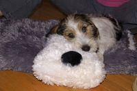 Jester, the PBGV puppy
