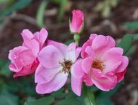 Roses in the garden of an historic site