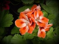 One geranium like no other.