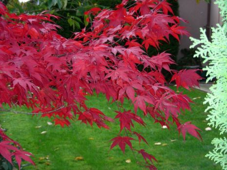 Fall -- Japanese Maple before the leaves fall