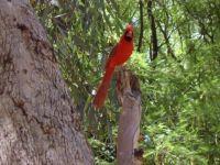 arboretum red cardinal