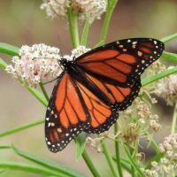 Monarch Butterfly on Narrowleaf Milkweed, San Dieguito County Park, Solana Beach, California