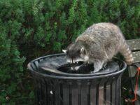 Raccoon in Stanley Park, B.C.