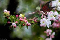 Apple Blossom Fairy (easier)