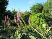 Some of my foxgloves