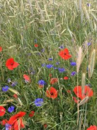 Poppies and cornflowers (easy)