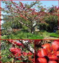 Red Silk Cotton Tree