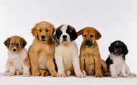 Puppies-Wallpapers