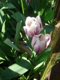 garden tulips 002