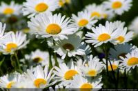 Spring-daisies-