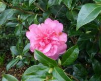 Another January camellia...