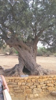 Very Old Olive Tree, Sicily