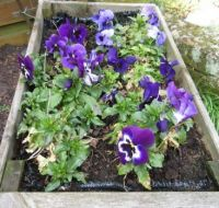 Pansies in the wheelbarrow planter (survived a layer of snow and frost for over a week!)
