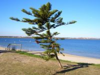 Cook Island Pines Always Lean Towards the Equator