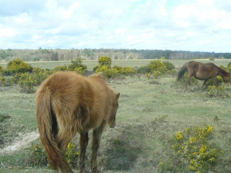 Wild New Forest ponies.