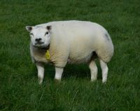 A little wink of our favourite ewe