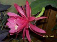 orchid cactus 2