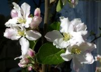 blossoms in my apple tree