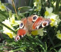 Peacock butterfly on Daffodils