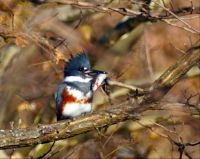 Belted kingfisher with catch at Ben Brenman ponds