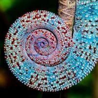 3  ~  Chameleon Tail.