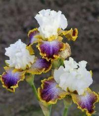 Purple-Gold-White Iris