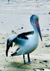 Sun Bathing Pelican
